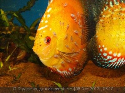 Дискусы в аквариуме - 2.jpg