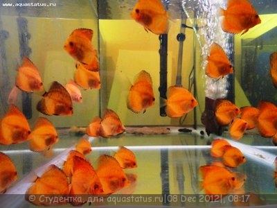 Дискусы в аквариуме - 3.jpg