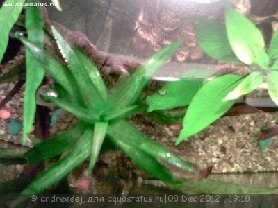 Аквариумные растения - опознание растений. - IMG0169A.jpg