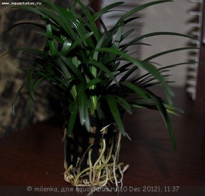 Аквариумные растения - опознание растений. - Изображение 672.jpg