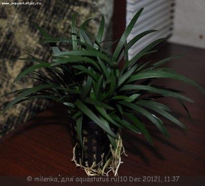 Аквариумные растения - опознание растений. - Изображение 673.jpg