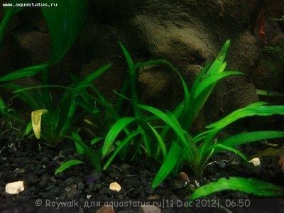Опознание аквариумных растений - 111.jpg