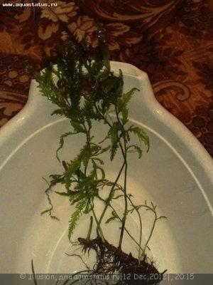 Аквариумные растения - опознание растений. - 12122012382.jpg