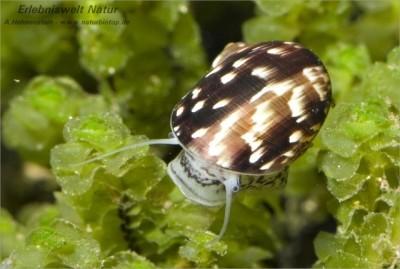 Теодоксус - Theodoxus fluviatilis.jpg