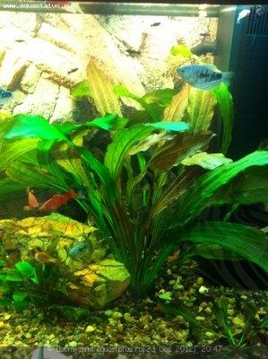 Аквариумные растения - опознание растений. - фотография2312123.JPG