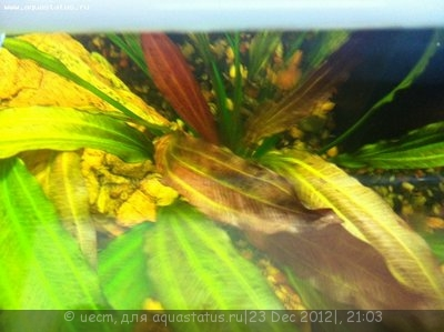 Аквариумные растения - опознание растений. - 2312124.JPG