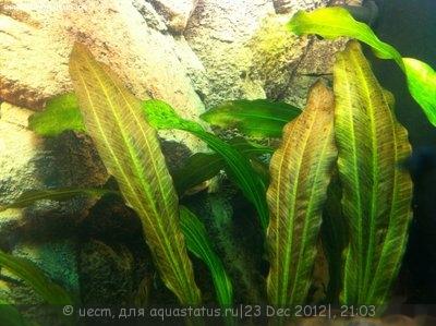 Аквариумные растения - опознание растений. - фотография2312125.JPG