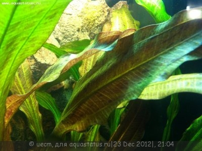 Аквариумные растения - опознание растений. - фотография2312126.JPG