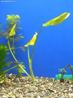 Аквариумные растения - опознание растений. - DSCF0192.JPG