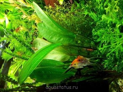 Аквариумные растения - опознание растений. - 20130103_113225.jpg