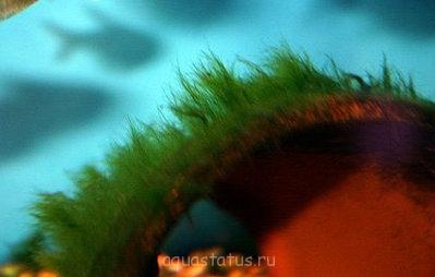 Водоросли в аквариуме - ll3.jpg