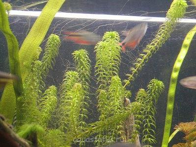 аквариумные водоросли все виды фото