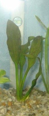 Аквариумные растения - опознание растений. - DSC03019.JPG