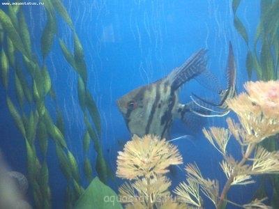 Помогите опознать рыбку опознание рыб  - DSC_0084.jpg