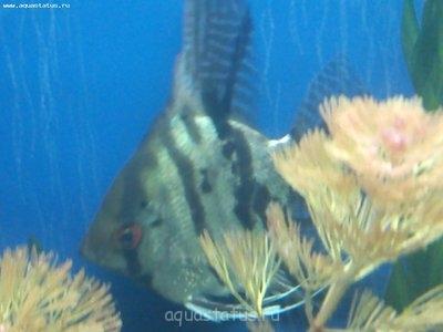 Помогите опознать рыбку опознание рыб  - DSC_0087.jpg