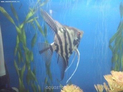 Помогите опознать рыбку опознание рыб  - DSC_0091.jpg