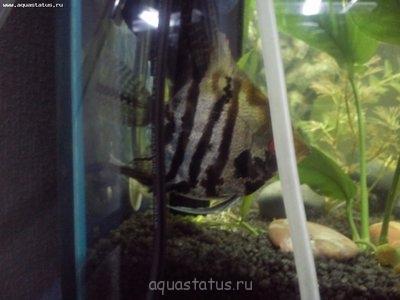 Помогите опознать рыбку опознание рыб  - DSC_0098.jpg