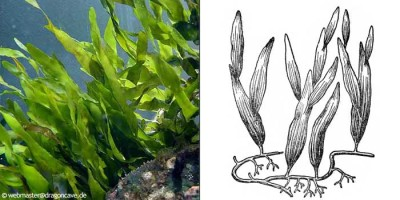 Каулерпа прорастающая Сaulerpa prolifera  - 012.jpg