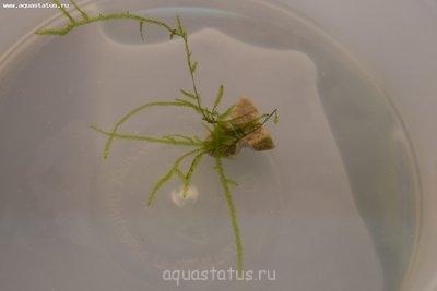 Аквариумные растения - опознание растений. - мох.jpg