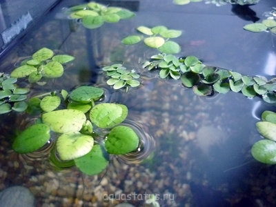 Аквариумные растения - опознание растений. - P1030267.JPG