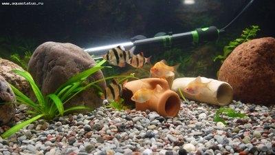 Коряга в аквариуме - P1010027.JPG