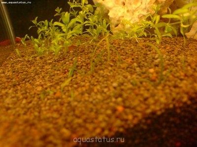 Аквариумные растения - опознание растений. - DSC01206.JPG