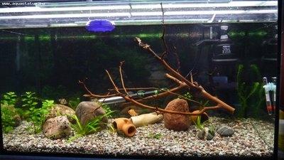 Коряга в аквариуме - P1010210.JPG