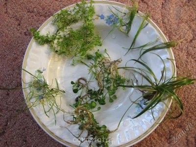 Аквариумные растения - опознание растений. - 4578331.jpg