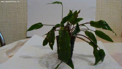 Аквариумные растения - опознание растений. - DSC07640.JPG