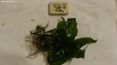 Аквариумные растения - опознание растений. - DSC07650.JPG