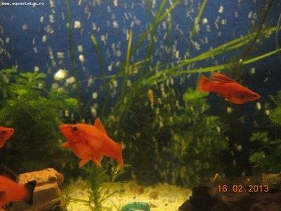 Помогите опознать рыбку опознание рыб  - DSCN8598.JPG