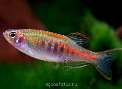 Помогите опознать рыбку опознание рыб  - danio-choprae.jpg
