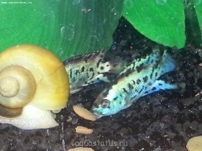 Помогите опознать рыбку опознание рыб  - 20130226_094150.jpg