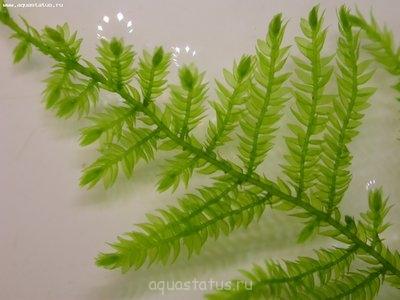 Аквариумные растения - опознание растений. - DSCN8655.JPG