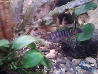Помогите опознать рыбку опознание рыб  - 2013-02-28 20.31.31.jpg
