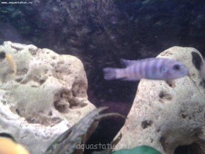Помогите опознать рыбку опознание рыб  - 2013-02-28 20.32.25.jpg