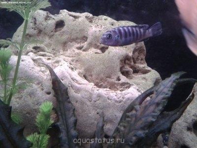 Помогите опознать рыбку опознание рыб  - 2013-02-28 23.01.09.jpg