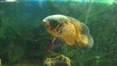 Помогите опознать рыбку опознание рыб  - P1100062.jpg