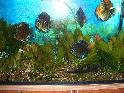 Мои пресноводные аквариумы Сергей  - 1.JPG