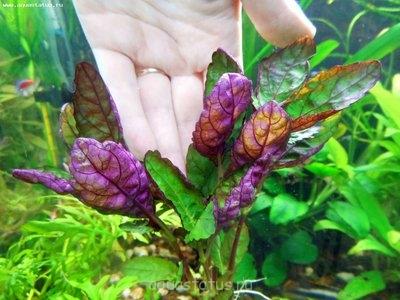 Аквариумные растения - опознание растений. - DSCN0374.JPG