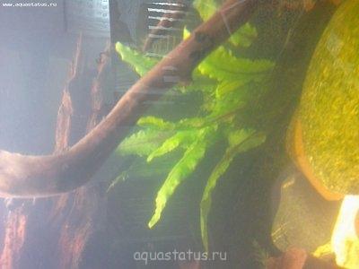 Опознание аквариумных растений - 18032013100.jpg