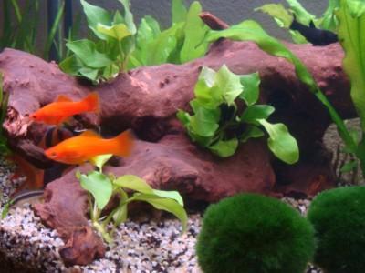 Мой аквариум 180 литров Ирина  - Lang 331.jpg