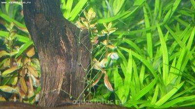 Опознание аквариумных растений - P1020465.JPG