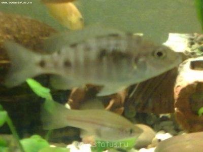 Помогите опознать рыбку опознание рыб  - 01042013003.jpg