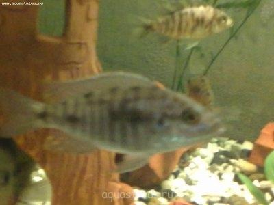 Помогите опознать рыбку опознание рыб  - 01042013005.jpg