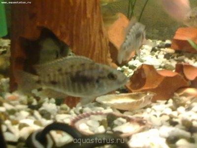 Помогите опознать рыбку опознание рыб  - 01042013007.jpg