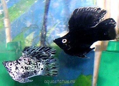 Помогите опознать рыбку опознание рыб  - foto39_85.jpg