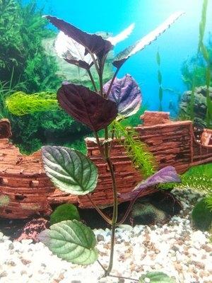 Опознание аквариумных растений - ячч.jpg