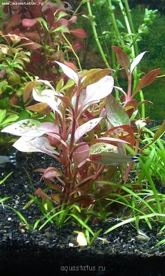 Аквариумные растения - опознание растений. - IMAG0132.jpg
