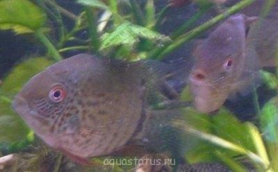 Помогите опознать рыбку опознание рыб  - aqa.ru-20090503181655.JPG